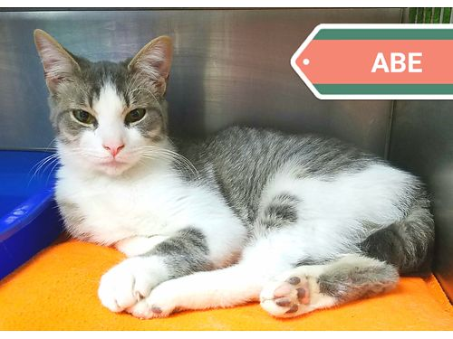 ABES A SWEET YOUNG BOY that would love a stable home wlots of cuddles Adoption fee 55 includes n