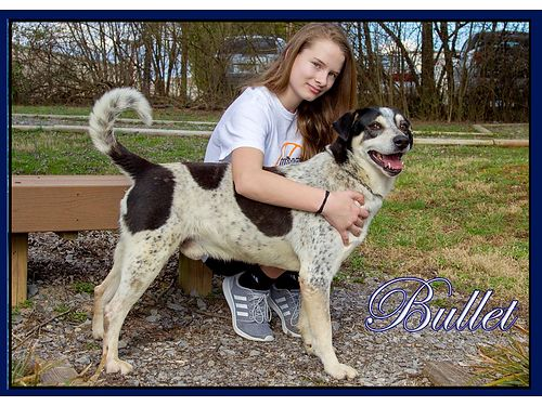 WE ARE GUESSING BULLETS a ShepherdHound mix Hes a very friendly boy  easy on a leash Adoption