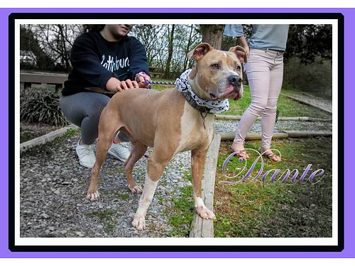 DANTES AN INCREDIBLY FRIENDLY 7YR OLD PIT MIX whose family adopted me from here but recently had t