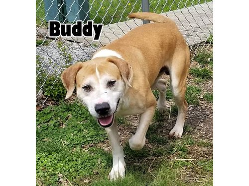 BUDDY IS A SWEET 3YR OLD LAB MIX looking for his new best friend Adoption fee 110 includes neuter