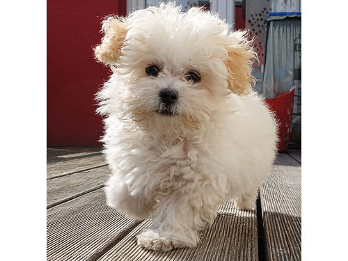 MALTIPOO PUPPIES Wormed UTD on shots whealth guarantee layaway available Call for pricing 4