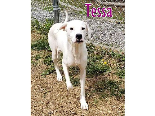 TESSA IS A HAPPY healthy 2yr old Foxhound  Boxer mix looking for her forever home Adoption fee