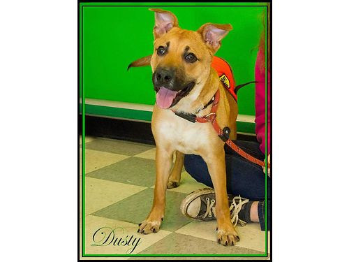 DUSTY IS A PLAYFUL young German Shepherd mix looking for a bee family Adoption fee 110 includes ne