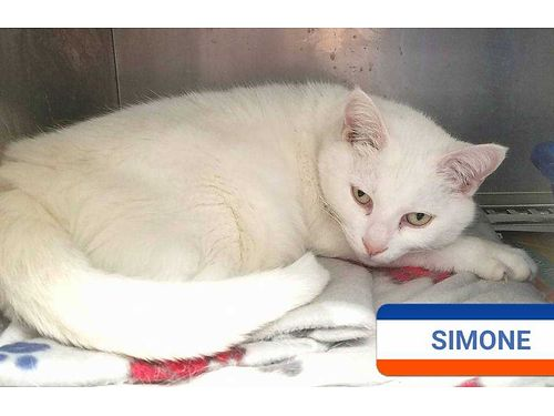 SIMONES A QUIET CAT that warms up quickly Loves to be petted  brushed Adoption fee 110 includes
