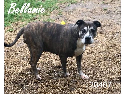 BELLAMIE IS A SENIOR GIRL probably a boxerterrier mix needing a new home Shes very calm  needs
