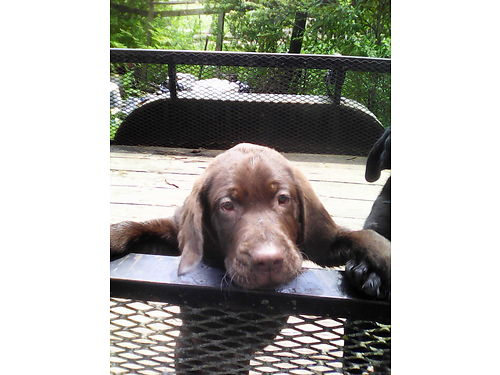 LAB PUPPIES Registered Full Blooded Beautiful Chocolates all males 7wks old parents on premise