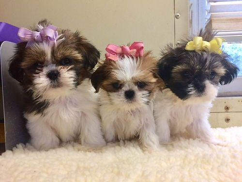 SHIH-TZU PUPPIES CKC registered Females adorable pre-spoiled beautiful babies parents on premise