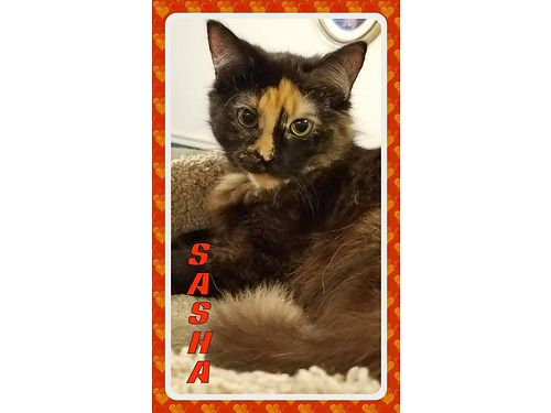 SASHA IS A VERY FRIENDLY long haired torti girl Shes loving and gets along well with other cats