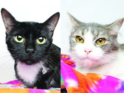 ROSE  JACK A 4yr old duo Rose a grey female Jacks a black male kitty Theyre best buds  loo