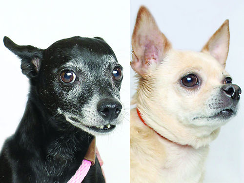 SISSY  BELLA are 7yr old small breed bonded Sisters Sissys a black female Bellas a tan female