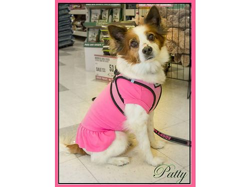 PATTYS THE SWEETEST DOG Shes a 6yr old Papillon Mix Shes diabetic  requires a special diet  i