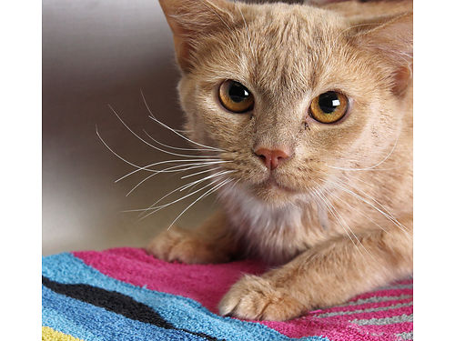 MAXWELLS A 2yr old orange male Shy  looking for a forever home to help him blossom Hes lived w