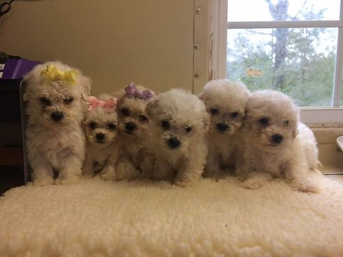 POOCHION PUPPIES CKC registered Males  Females adorable pre-spoiled babies parents on premise