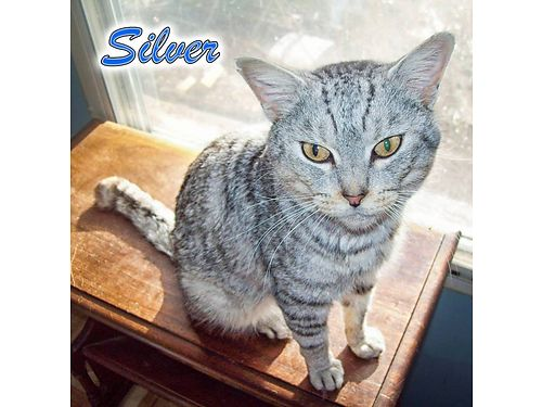 SILVERS A GORGEOUS 2YR OLD TABBY CAT He does have stomatitis which requires a grain-free diet He
