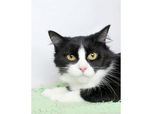 MADDIES A 3YR OLD FEMALE SHORT HAIR CAT Very calm quiet  has lived wother cats Spayed UTD on
