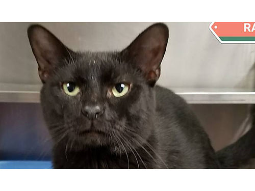 RAVENS A SWEET BLACK KITTY very laid back and easy going Adoption fee 110 includes neuter vacci