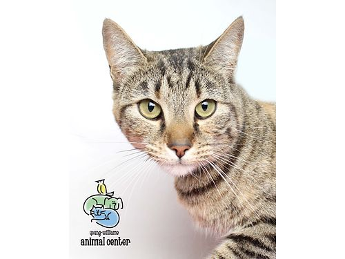 STAR LIVES UP TO HER NAME in every way This 2yr old tabby struts her stuff wthe sweetest manner A