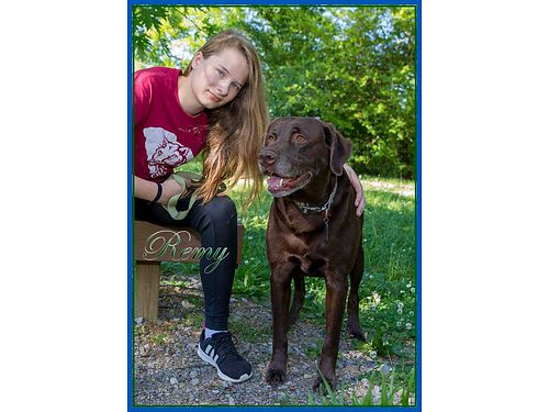 REMYS A REALLY CALM 85yr old Chocolate Lab He is looking for a loving indoor home to retire to A