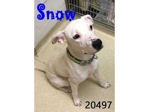SNOWS A YOUNG BOY under a year old looking for a loving family Adoption fee 110 includes neuter