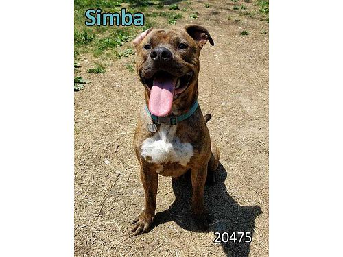 SIMBAS A 15YR OLD MALE pit mix that needs a home without children He does well wcats and other d