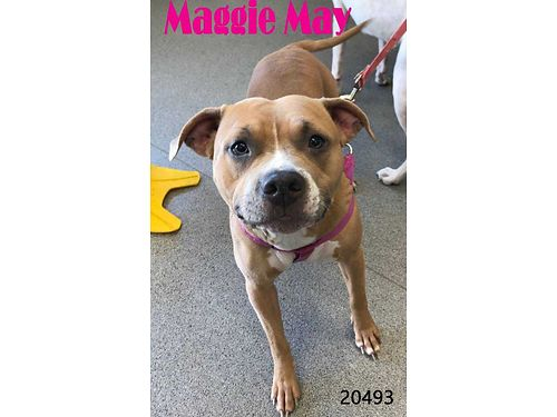 MAGGIE MAYS A YOUNG ADULT BOXERPIT MIX thats already house trained  ready for a new home This