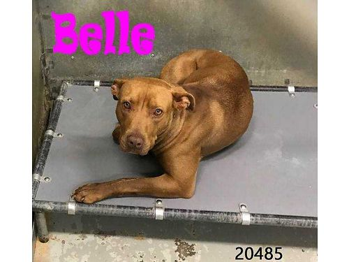 BELLE IS A SWEET YOUNG ADULT PIT MIX that is seeking an indoor home wowners that dont let her roam