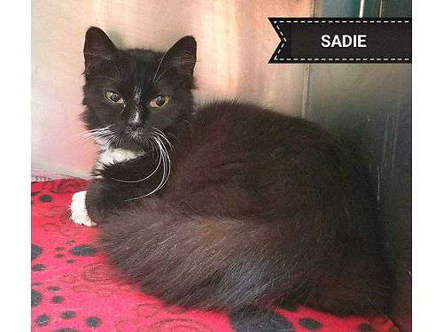 SADIE IS A SMALL SWEET TUX CAT wsilky long fur Sadie would love a home where she could cuddle her