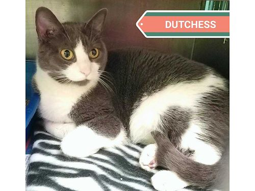DUTCHESS IS A LOVELY ADULT CAT She is 5yrs old and calm Perfect for a quiet stable home that need