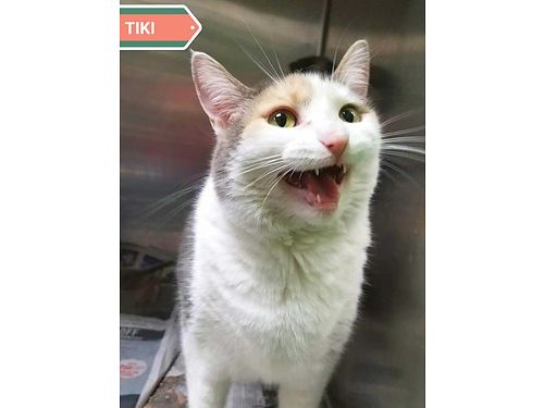 TIKIS A BIG TALKATIVE SWEETHEART that needs a special urinary food called cd As long as she is o