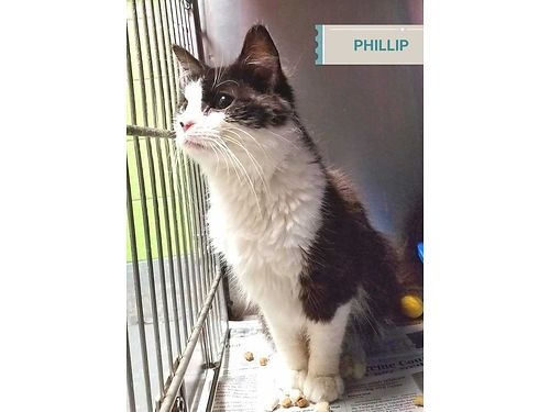 PHILLIP IS A 6 MONTH OLD TUX KITTEN with a sweet playful disposition Adoption fee 110 includes ne