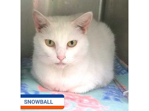SNOWBALLS A MELLOW 5YR OLD looking for a calm indoor home Perfect companion pet Adoption fee 110