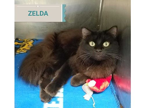 ZELDAS A 2YR OLD long haired male LOVES people Adores to be petted Adoption fee 110 includes ne