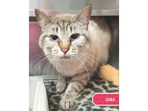 GINAS A SWEET GIRL KITTY who would love a quiet home She is about 7yrs old  adores being petted