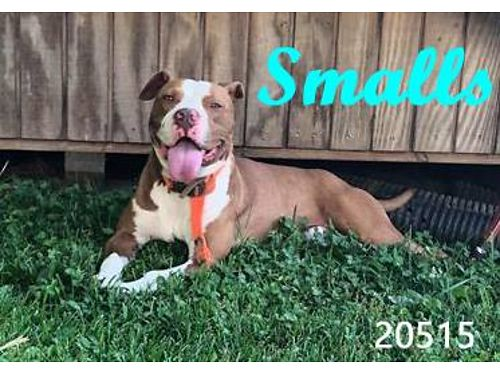 SMALLS IS AN ADORABLE MALE PIT MIX Look at that adorable pittie smile Smalls is ready to move on t
