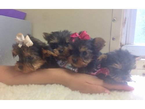 YORKIE PUPPIES CKC Registered Black  Tan males  females will have shots be wormed Pre-Spoile