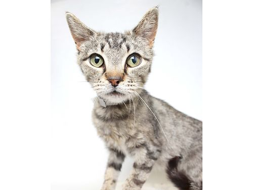 PEPPERS A 2YR OLD BROWN TABBY FEMALE looking for a family to take her home to snuggle Shes shy at