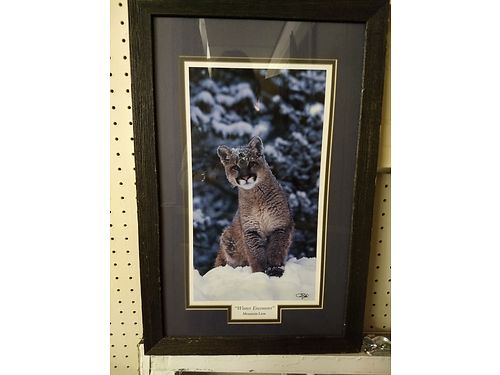 MONTANA WILDLIFE PHOTOGRAPHER Cougar print Professionally framed 59 865-242-1512 see photo at w