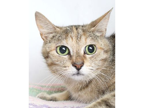 ODELLAS A 3YR OLD FEMALE DSH Shes looking for a forever home that will be patient and help her fl