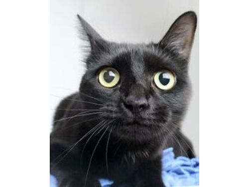 SALEMS A BLACK 2YR OLD FEMALE DSH She loves snuggling A very outgoing kitty who has also lived w