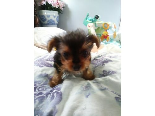YORKIE PUPPY AKC Reg 8wks old smaller pup will be approx 3-4lbs closer to 3lbs 1 male has had