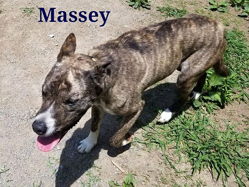 MASSEY IS A 15YR OLD MALE SHEPHERD MIX He is energetic and friendly Adoption fee 110 includes ne