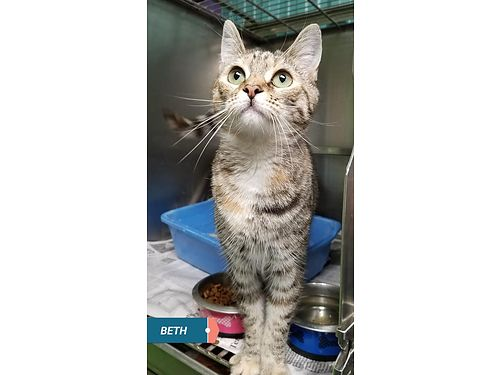 BETHS A 7MO OLD FEMALE TABBY A friendly girl whod love to find a home where she will loved and we