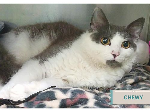 CHEWY IS A 6MO OLD MALE KITTEN wsoft fur and beautiful eyes Hes a calm boy Very friendly Adopti