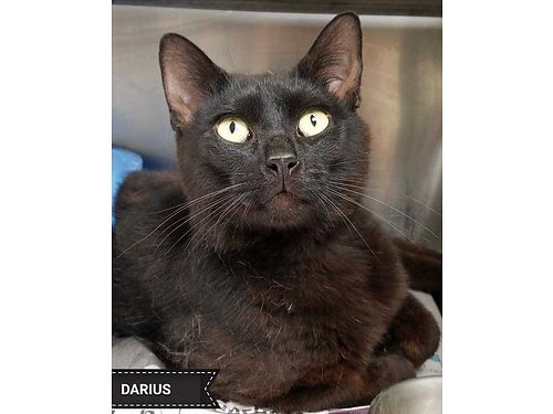 DARIUS IS A SLEEK stunning 1yr old that loves people Adoption fee 110 includes neuter microchip
