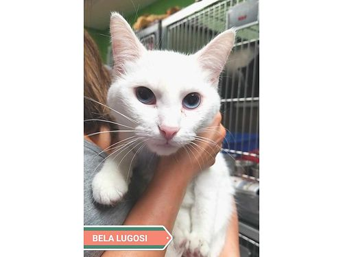 BELA LUGOSI IS A YOUNG SNOW WHITE BEAUTY wdeep blue eyes Shes about a 1yr old  would like a stab