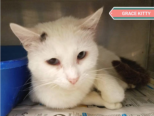 GRACE KITTY IS A TRUE PRINCESS in cat form She is the perfect companion cat and loves people Adopt