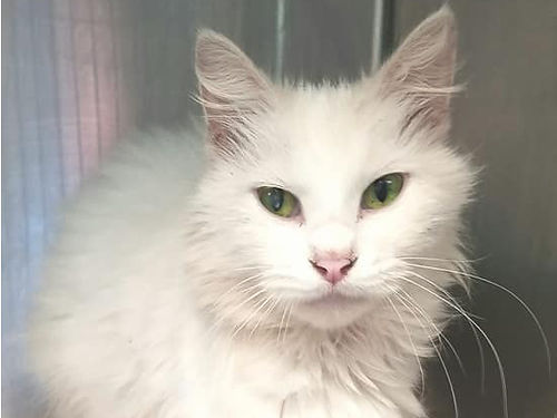 LILYS A STUNNINGLY BEAUTIFUL CAT wan angelic personality to match She is a healthy 12 years of ag