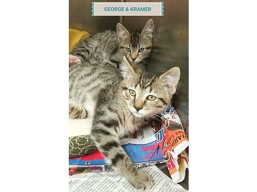 GEORGE  KRAMER are a pair of 10wk old brothers that love to romp and play Kittens do best in group