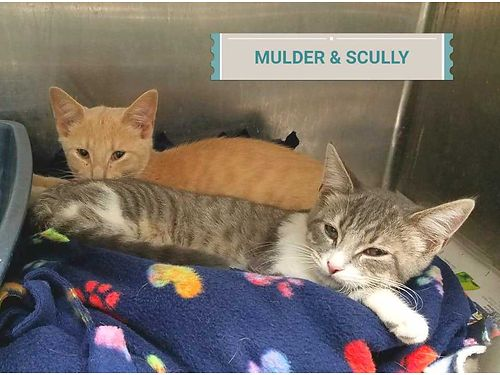 MULDER  SCULLY ARE A SHY 4mo old brother and sister duo They are a bonded pair Adoption fee 110