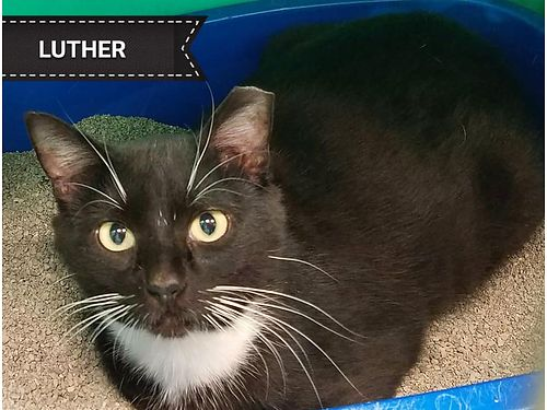LUTHERS A 2YR OLD SWEETHEART that longs to be an indoor cat He loves to be pet and talked to Adop